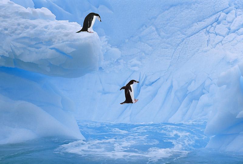 Premier bain d'été pour ces deux manchots à jugulaire de la mer de Weddell, au large de l'Antarctique, côté Amérique du Sud. On ne sait pas si celui qui saute a trouvé que l'eau était bonne, mais ce dont on est sûr, c'est que la température de cet océan a augmenté de 2,5 °C au cours des cinquante dernières années, soit six fois plus qu'ailleurs. Le continent Antarctique, gigantesque réserve de glace et d'eau douce pour toute la planète, est en effet situé juste en dessous du trou de la couche d'ozone, ce qui le rend particulièrement vulnérable au réchauffement climatique : la fonte annuelle de ses glaces est passée de 5 milliards de tonnes en 2002 à 109 milliards en 2009 !