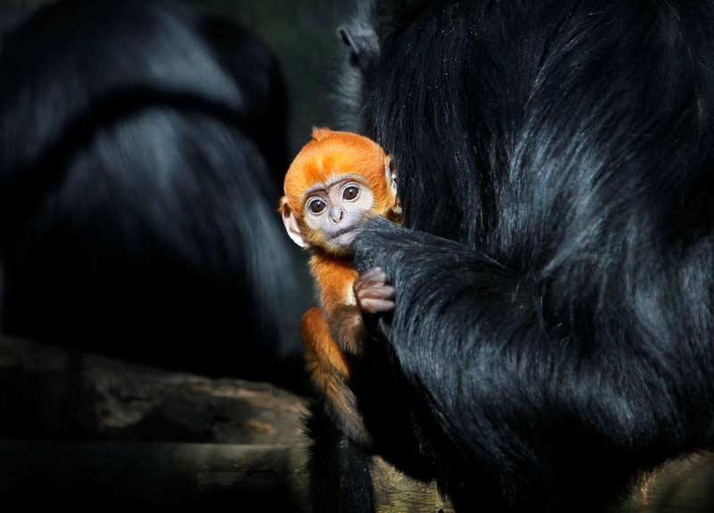 Tantan, petit semnopithèque de François (Trachypithecus francoisi) âgé d'un mois, se détend avec ses parents dans le parc zoologique Zoorasia à Yokohama, Japon, le 20 décembre 2009.