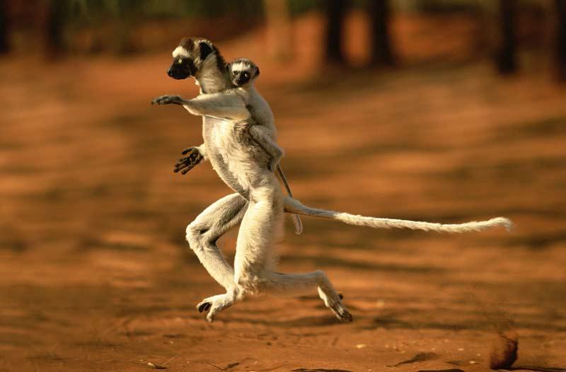 />TRATRY NY KRISMASY &#8211; </b>«Joyeux Noël !» en malgache, car il n&rsquo;y a plus qu&rsquo;à Madagascar que l&rsquo;on trouve encore en liberté des propithèques de Verreaux, dont cette mère et son petit qui galopent à la recherche de nourriture entre deux arbres. Cette sous-espèce de lémuriens, aux pieds et aux mains très proches de ceux de l&rsquo;homme, vient tout juste d&rsquo;être réhabilitée par deux chercheurs strasbourgeois : alors qu&rsquo;on les considérait jusqu&rsquo;à présent comme «moins évolués» que les autres primates, ces scientifiques ont en effet prouvé que les lémuriens étaient, en réalité, aussi malins que les grands singes. Une découverte qui pourrait renforcer leur popularité, tout en incitant à mieux les protéger. &nbsp;&raquo; height=&nbsp;&raquo;295&Prime; /></p> <p align=