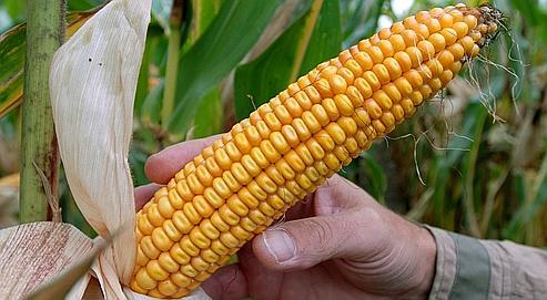 Deux avis divergents sur le maïs OGM Monsanto 810 E95dbfdc-ef38-11de-9f27-1a2438aff4b6