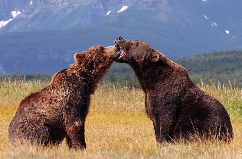 Deux ours bruns se battent en duel au parc national de Katmai, en Alaska.