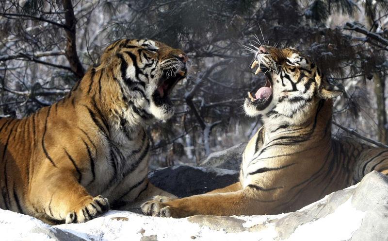 Deux tigres en Corée du Sud, le 28 décembre.