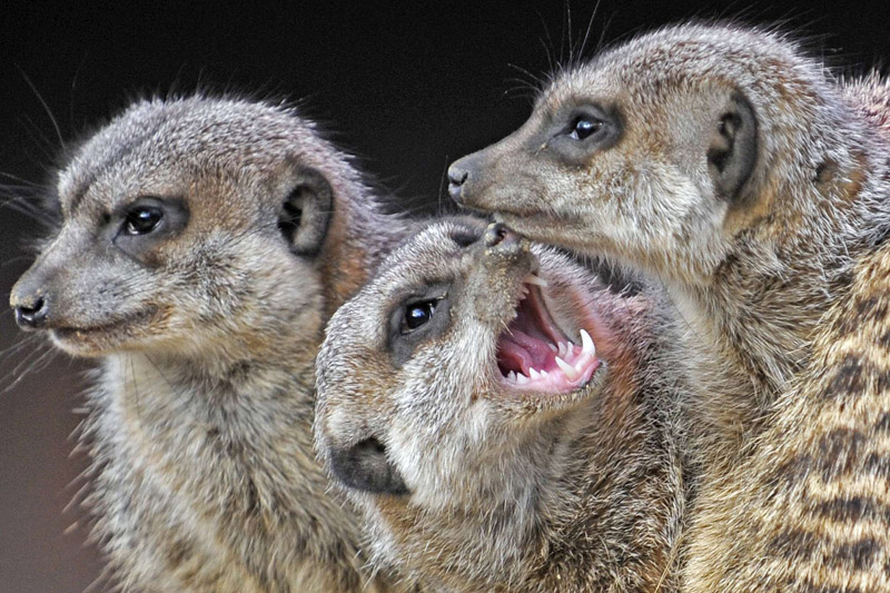 Le suricate, également connu sous le nom «Meerkat Manor» est une petite espèce de mangouste, mammifère carnivore vivant dans le sud de l'Afrique.