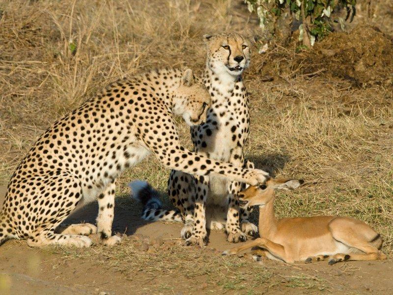 C'est une histoire qui commence comme un conte de Noël, mais qui se termine mal. Au cœur de la réserve du Masaï-Mara, au sud-ouest du Kenya, des guépards croisent la route d'un petit groupe d'impalas qui s'enfuient. Mais un jeune n'est pas assez rapide et les deux fauves l'attrapent sans mal. Ils n'ont manifestement pas faim, mais semblent avoir envie de jouer. Ils le mettent à terre puis, pendant un quart d'heure, ne lui font rien d'autre que le lécher ou lui poser la patte sur la tête.Lle temps est soudain suspendu. L'impala sera-t-il gracié, comme le laisse croire cette image ? Non. Lassés, les guépards finiront par le dévorer.