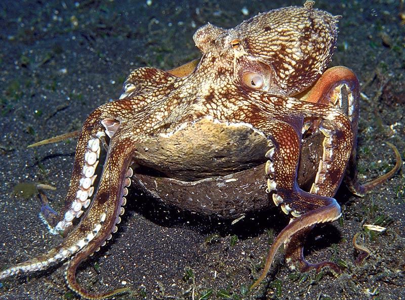 />La pieuvre utilise aussi des outils.</b> C'est assurément la découverte la plus chanceuse de l'année 2009. Des chercheurs australiens ont filmé quatre pieuvres en train de vider deux moitiés de noix de coco, les transporter et les rassembler pour se glisser à l'intérieur et s'en faire un abri (Current Biology, 15décembre 2009). Ils ont observé cette étrange activité lors de plongées sous-marines au large de l'Indonésie. C'est un exemple d'utilisation d'outil qui n'avait jamais été observé auparavant chez un invertébré. Pendant longtemps, on l'avait cru réservé aux hommes et, plus récemment, aux singes, aux corbeaux et aux pies…<br /><a href=''http://www.youtube.com/watch?v=1DoWdHOtlrk''>» Vidéo montrant une pieuvre utilisant une coque de noix de coco</a>&nbsp;&raquo; height=&nbsp;&raquo;361&Prime; /></p> <p><strong>La pieuvre utilise aussi des outils.</strong> <strong><font face=