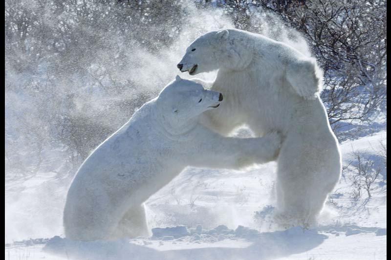 Combat de géants. Au Canada, deux ours polaires s'affrontent, fin décembre, au Parc national Wapusk (qui signifie «ours blanc»), qui protège l'une des plus vastes aires connues de mise bas des ours polaires du monde.