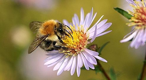 La biodiversité du pollen est plus importante en elle-même que sateneur en protéines, révèle une desétudes. Crédit photo : nutmeg66.