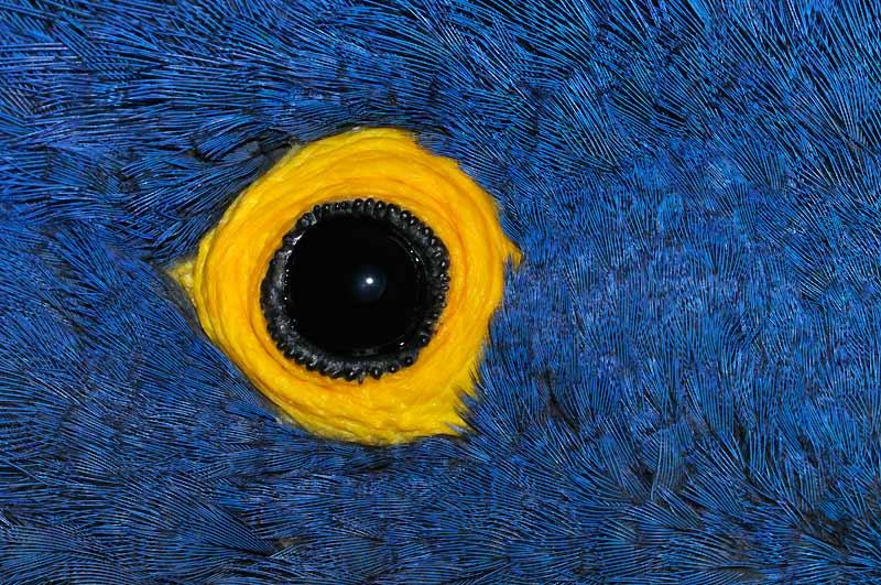 L'oeil noir du perroquet brille au milieu d'une splendeur de plumes. Le cercle jaune ne fait pas partie du plumage, il est un élément visuel qui capte, au même titre que la pupille.