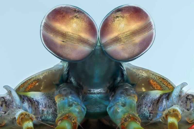 Les yeux de cette crevette odontodactylus sont composés de 10 000 facettes sensibles à la lumière. Les rayures lui permettent notamment de percevoir en trois dimensions.