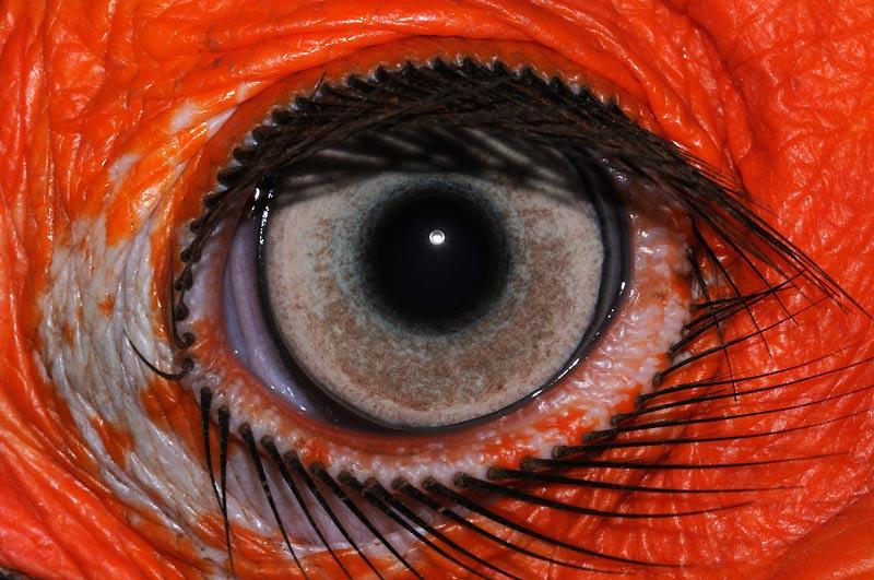 Le corbeau africain a la paupière démunie de plumes et d'un rouge enflammé. Le globe de l'oeil est entouré de longs cils noirs, à l'apparence d'épines.