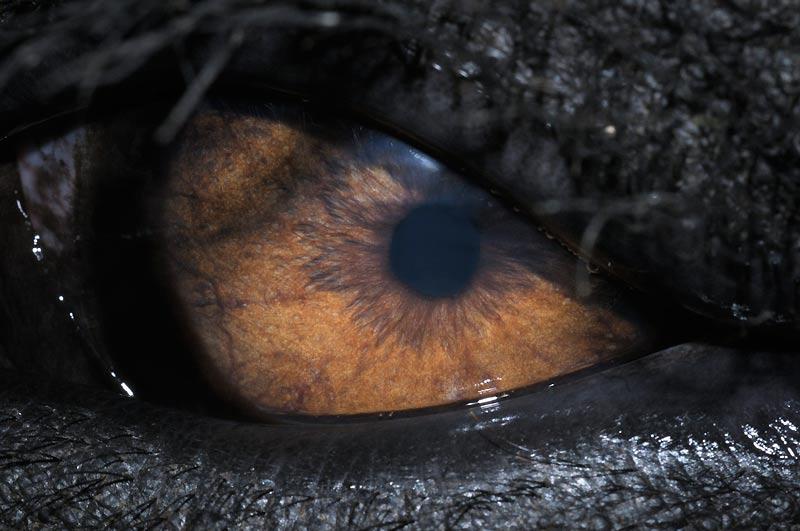 Bien que les yeux de cet éléphant d'Asie soient placés latéralement à son crâne, le pachyderme compense les angles morts en couvrant un vaste champ de vision panoramique, sensible à tout changement autour de lui, tant devant que derrière.