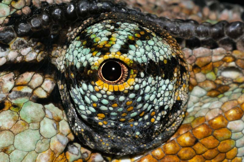Cette espèce de caméléon du Yémen possède les yeux les plus développés de la nature. Séparés par un large espace, ils rendent possible une vue verticale de 90° et horizontale de 180°. De plus, ils sont totalement indépendants l'un de l'autre, ce qui permet à l'animal de voir avec aisance devant et derrière, en haut et en bas.