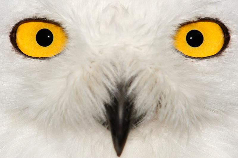 L'iris de la chouette des neiges est fermement logé dans la cavité de l'oeil et, de ce fait, peu mobile. Même très largement tourné vers l'avant, son champ de vision est des plus restreints. Un défaut compensé par la facilité extrême avec laquelle elle peut tourner son cou. Sa vue est comparable à la tête chercheuse d'un missile.