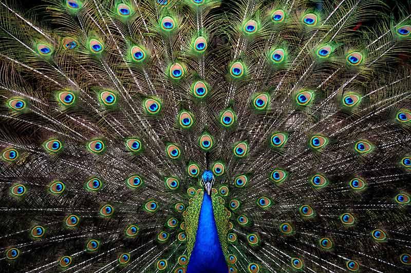 Magnifique roue. Comment ne pas s'émerveiller devant ce paon bleu qui déploie sa majestueuse parure aux reflets bleus et verts. Cet oiseau a été photographié au zoo de Santa Fe, dans l'État du Nouveau-Mexique, aux Etats-Unis, mercredi 27 janvier.