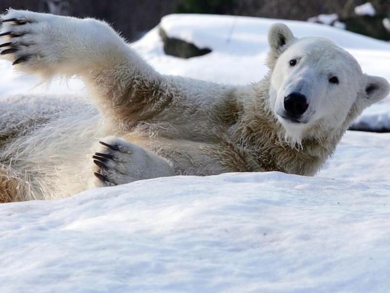 En Allemagne, où le froid a tué 14 sans-abri depuis le début de l'hiver, ce nouvel épisode neigeux contente au moins Knut, le jeune ours polaire de 3 ans qui fait la renommée du zoo de Berlin.