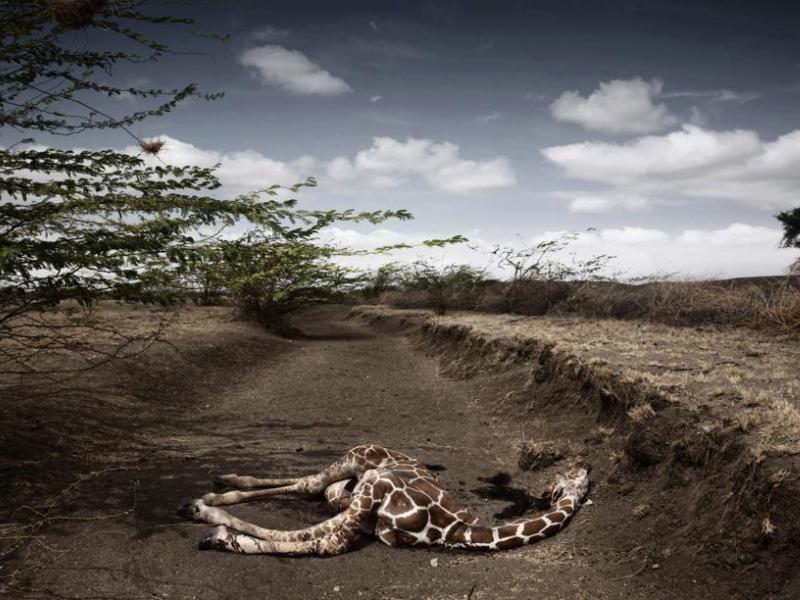 <b>ENJEUX CONTEMPORAINS CLICHE – </b> Deuxième prix pour ce cliché pris par l'Italien Stefano De Luigi d'une girafe ayant succombé à la sécheresse au Kenya.