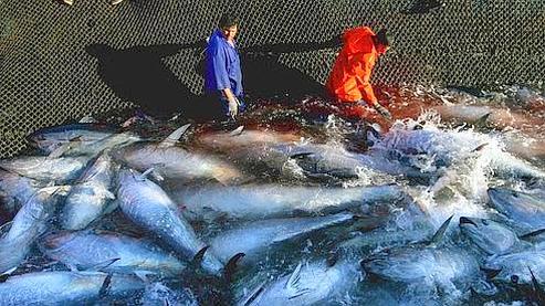 Pêche au Thon : l'Europe veut convaincre le Japon d'arrêter