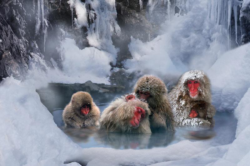 Le sauna des macaques. Délicieusement alangui dans l'eau chaude d'une source thermale, ce macaque japonais (macaca fuscata) au sourire épanoui se laisse gentiment épouiller par un des ses congénères. Singes aux mœurs sociales particulièrement complexes, ils sont les plus nordiques de tous les primates. Grâce à leur épaisse fourrure, ils peuvent supporter des températures extrêmes. Mais quand le vent et le gel rendent le froid plus mordant, ces animaux se plongent dans l'une des nombreuses sources chaudes qu'ils trouvent sur leur territoire. Célèbres pour leurs bains fréquents dans la station de ski de Shiga Kogen, dans la région de Nagano, ces singes assurent souvent le spectacle pour les touristes.