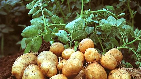 L'Europe autorise la culture d'une pomme de terre OGM