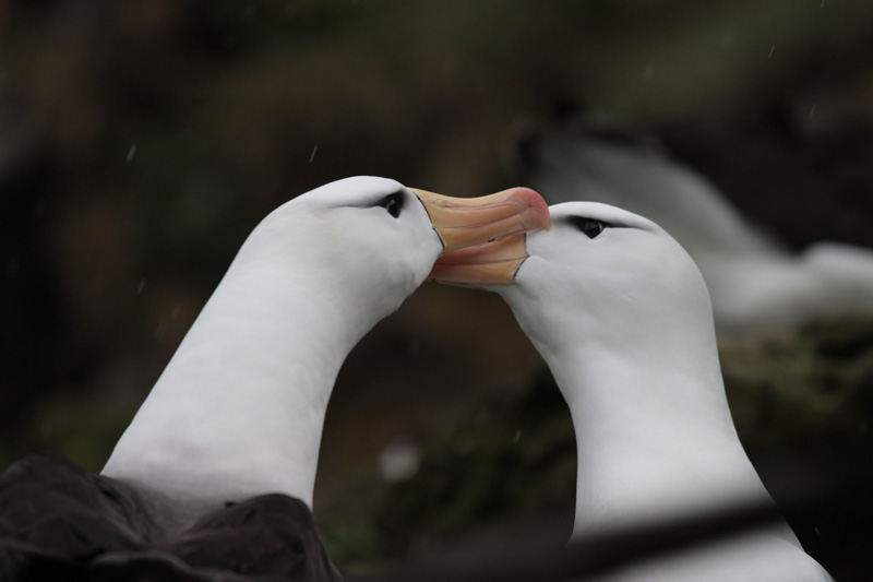Les îles Crozet abritent ainsi la communauté d'oiseaux de mer la plus abondante au monde (25 millions de reproducteurs par an). Ici, deux albatros à sourcil noir.