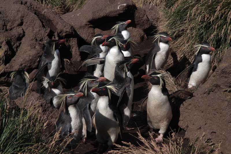Le gorfou sauteur est une autre espèce présente dans la zone subantarctique. Ce manchot, qui se distingue par des aigrettes jaunes au-dessus des yeux, construit généralement son nid en haut des falaises qu'il grimpe par des séries de petits bonds, d'où son nom.