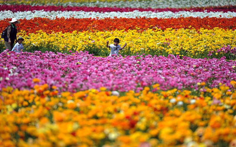 Au détour de champs multicolores près de Carlsbad, en Californie, l'arrivée du printemps permet d'admirer ces renoncules en pleine floraison, lundi 29 mars.