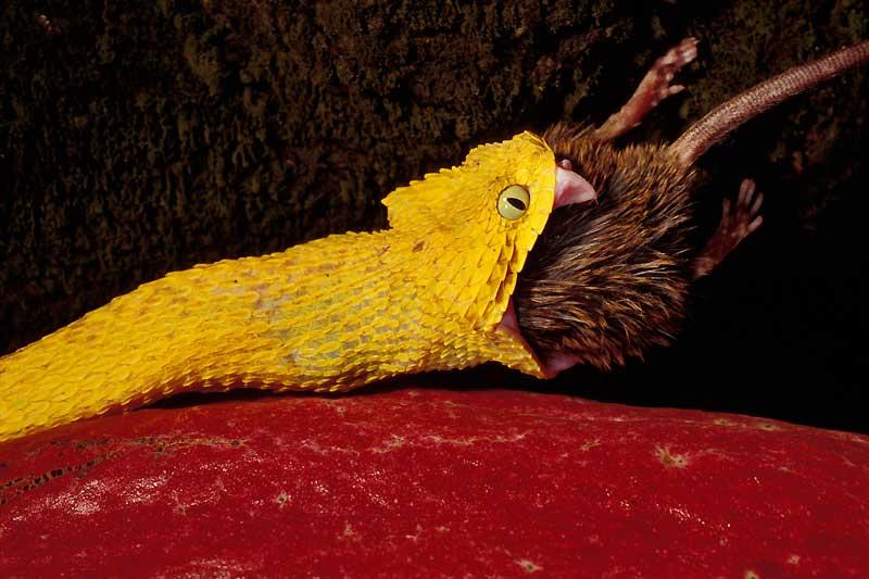 Même si ce rat géant d'Afrique est beaucoup plus gros que cette vipère arboricole du Cameroun, le reptile affamé n'en a fait qu'une – longue- bouchée. Armée de crochets venimeux, la vipère a d'abord mordu sa proie à plusieurs reprises. Paralysé par les propriétés neurotoxiques du venin, le mammifère s'est lentement figé, les muscles tétanisés. Puis son cœur s'est arrêté de battre. Le serpent a alors commencé son lent travail d'ingestion . Comme la très grande majorité de ses congénères, cette vipère est capable de dilater son corps de façon spectaculaire, grâce à son squelette formé d'anneaux osseux mobiles. Une adaptation qui lui permet d'avaler des animaux de très grande taille.