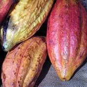 Le cacao au sommet