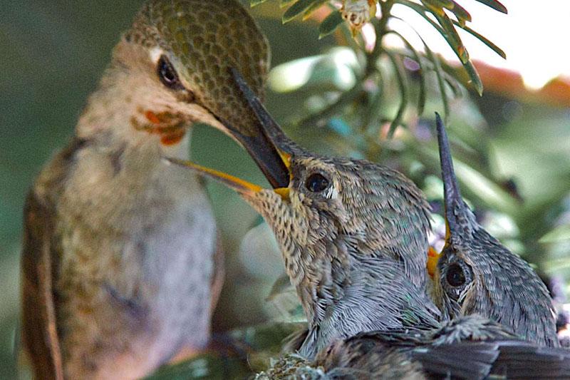 Mardi 4 mai, à Benicia en Californie, ce colibri d'Anna nourrit ses poussins du nectar des fleurs, de la sève des arbres et de très petits insectes. Ils sont âgés d'environ deux semaines et prendront leur envol très prochainement.