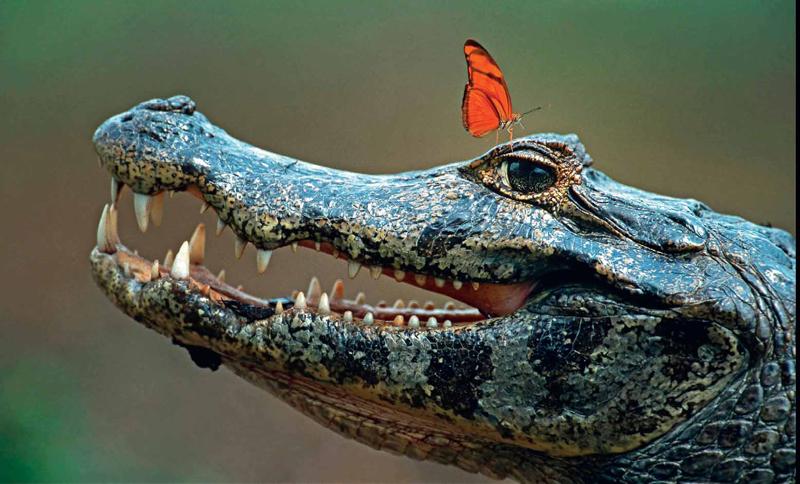 CAÏMAN PAS PEUR. Joli cliché de ce papillon qui a sans doute confondu la tête d'un alligator avec un ponton flottant. Mais leur histoire d'amour a beau être des plus photogéniques, elle n'en est pas moins contre-nature et condamnée, de ce fait, à tourner rapidement à la liaison fatale. Les sauriens du Brésil sont en effet connus pour ne pas se nourrir exclusivement de poissons, de serpents ou de cadavres d'animaux ; il leur arrive aussi de déguster des insectes. En guise d'apéritif, certes, mais avec une gourmandise accrue envers ceux qui ont l'impudence, comme celui-ci, de leur flanquer leurs pattes dans l'oeil.