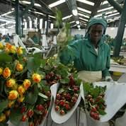 La rose au parfum du commerce équitable