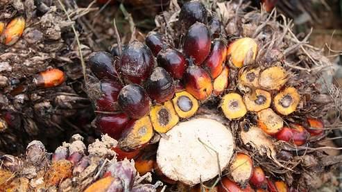 Les fruits du palmier d'où est extraite l'huile par pression à chaud.