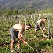 Les vins bio menacés de pasteurisation