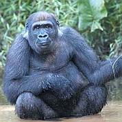 Les chimpanzés et gorilles reviennent, protégés par des éco-gardes.