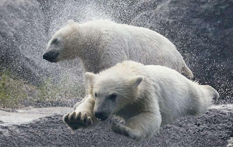 Les deux oursons blancs nés en décembre dernier au zoo sauvage de Saint-Félicien, au Québec, ont été présentés au public, mercredi 2 juin. Le zoo rapporte que les oursons «débordent d'énergie».