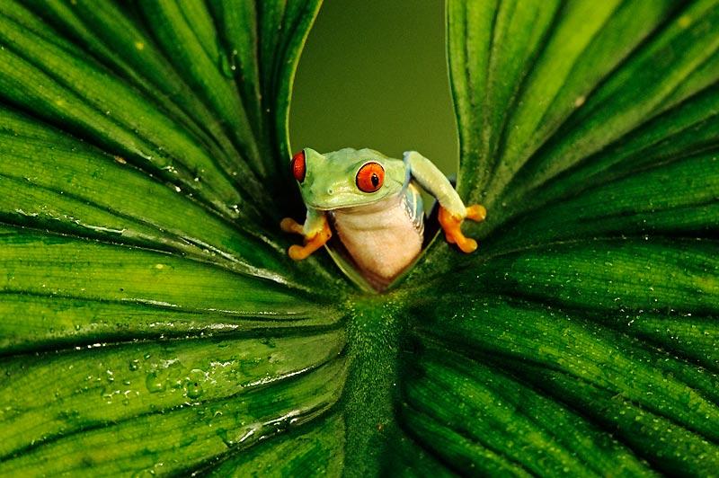 Une rainette aux yeux rouges / Originaire du Nicaragua / Se dit un jour «Faut que j'me bouge / Si j'veux mon nom dans les médias» / Tapie sous une plante grasse / Elle vit passer un photographe / «C'est mon heure», se dit-elle / «L'Agalychnis callidryas / Chante aussi bien que la Callas» / Lissant ses flancs / Clignant de l'oeil / Elle sauta sur une feuille / En l'écartant tel un rideau de scène / Pour faire son show façon Marlène / Mais la rainette / N'était qu'une midinette / Belle, c'est sûr / Mais sans plus de voix ni de talent qu'une chaussure / Le cliché resta donc muet / Et la grenouille, frustrée / Moralité ? / Il ne suffit pas d'être verte pour devenir une vedette !