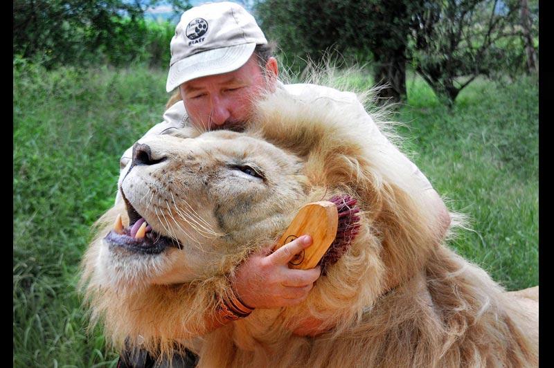 Ce soigneur du zoo «Lion Park», près de Johannesburg, en Afrique du Sud, est devenu si proche de l'un des lions dont il s'occupe qu'il peut le caresser et brosser sa crinière. Il lui a tout de même fallu six années pour forger cette relation unique avec l'animal.
