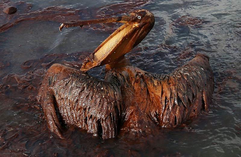 Prisonnier de sa gangue de pétrole, ce pélican est en passe de devenir le nouveau – et bien triste – symbole de la Louisiane. Près de deux mois après la catastrophe écologique, on ne compte plus les animaux victimes de cette marée noire. L'oiseau captif des eaux de Grand Isle a peu de chance de survivre. Réintroduit dans la région en 1968, le pélican brun (« Pelecanus occidentalis ») portait l'espoir de la pérennité de l'espèce. Or, en moins de deux mois, la catastrophe de la plate-forme Deepwater Horizon risque de signer sa disparition. La nappe de pétrole qui s'est répandue dans le golfe du Mexique après l'explosion du puits offshore exploité par BP menace plus de 600 espèces animales.
