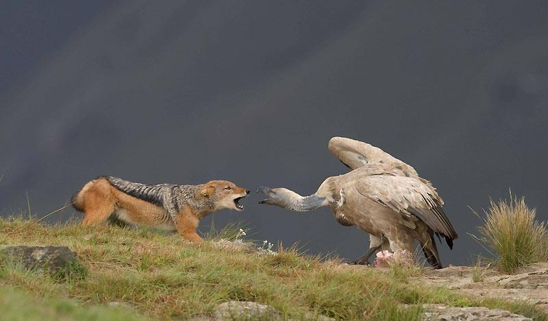 Un chacal et un vautour combattent pour un morceau de carcasse animale.