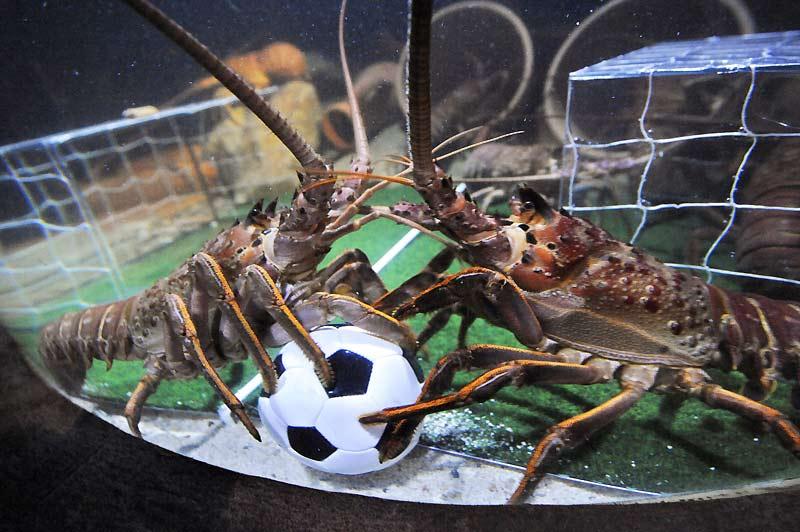 Image insolite de ces deux langoustines qui jouent au football dans un aquarium de Berlin, spécialement décoré à l'occasion de la Coupe du monde !