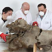 L'énigme du plus vieux bébé mammouth