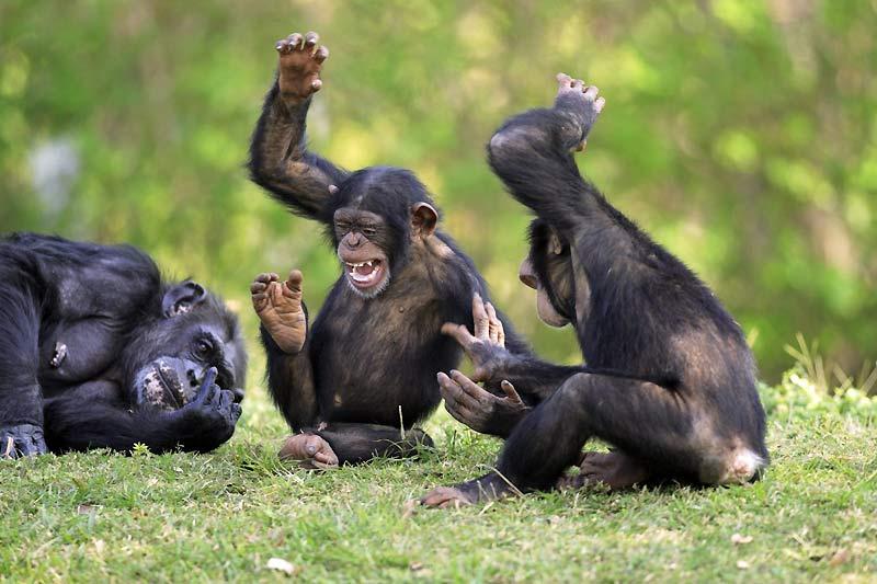Aucun doute : Rabelais, Aristote et Bergson avaient tort d'affirmer que «le rire est le propre de l'homme». Mais ils ignoraient sûrement tout de l'existence des singes, et ne disposaient évidemment d'aucune étude sur leur comportement. La dernière en date, effectuée par une zoologiste britannique sur vingt-deux primates (gorilles, chimpanzés, bonobos, orangs-outans et siamangs), confirme la réalité de cette réaction, l'importance de son rôle social et la facilité avec laquelle un humain peut la déclencher : il suffit pour cela de les chatouiller. Mais à une condition : qu'ils soient très jeunes. Le rire existe bien chez les singes, mais il n'est le propre que de la jeunesse.