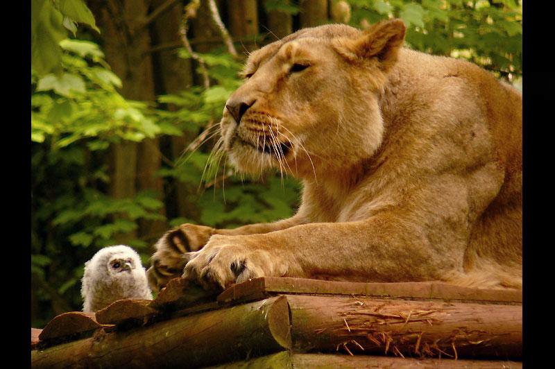Ce nouveau né hibou observe avec grande attention cette lionne en pleine séance de repos dans le zoo de Paignton, dans le sud de l'Angleterre.