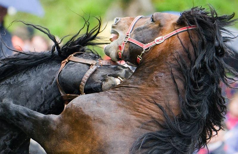 À Rauris, dans la province autrichienne de Salzbourg, ces étalons combattent pour la domination du troupeau, le 19 juin.