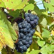 Une molécule dérivée du vin contre l'obésité