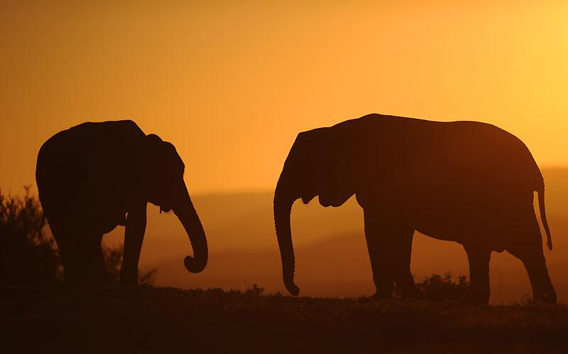 Début juillet, sur fond de coucher de soleil, ces deux éléphants se baladent dans le parc national d'Addo, situé dans la région du Cap Oriental, en Afrique du Sud. Ils sont plus de 200 pachydermes à être regroupés sur ce site.