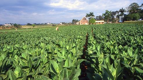 Des enfants produisent du tabac pour philip morris - Acheter des graines de tabac en france ...