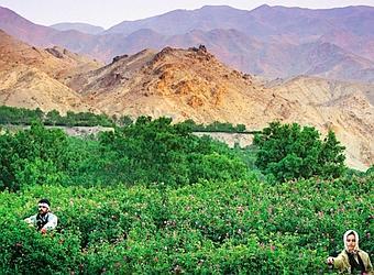 La cueillette des pétales de rose, à l'aube, près de Qamsar. (Éric Martin/Le Figaro Magazine)