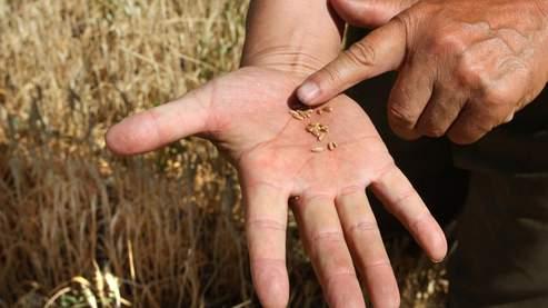 Un fermier russe constate la perte de ses grains de blé, asséchés par le climat aride qui sévit dans le pays.