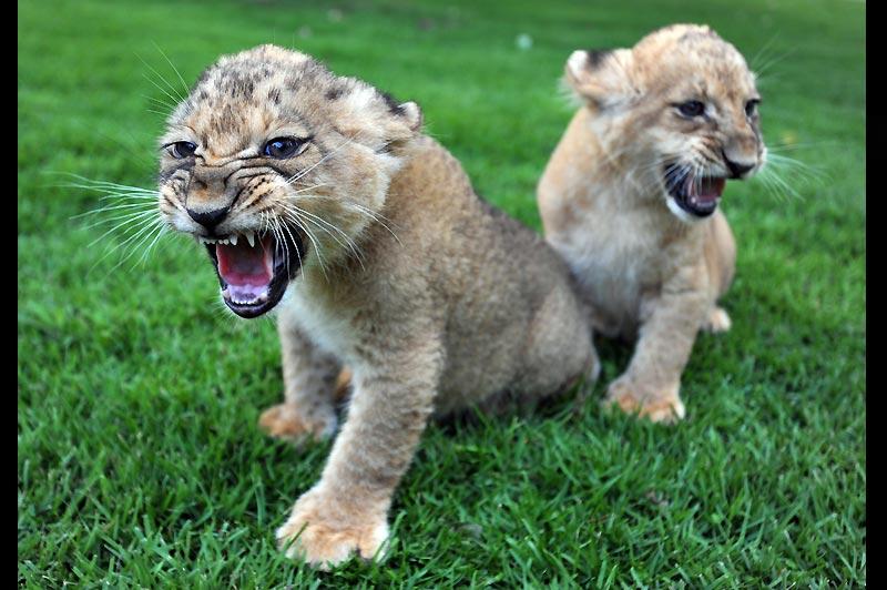 Attention ! Dimanche 25 juillet, petite balade estivale dans le centre zoologique de Tel-Aviv pour ces deux lionceaux, nés deux mois auparavant.